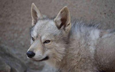 El enanismo en el perro lobo checoslovaco