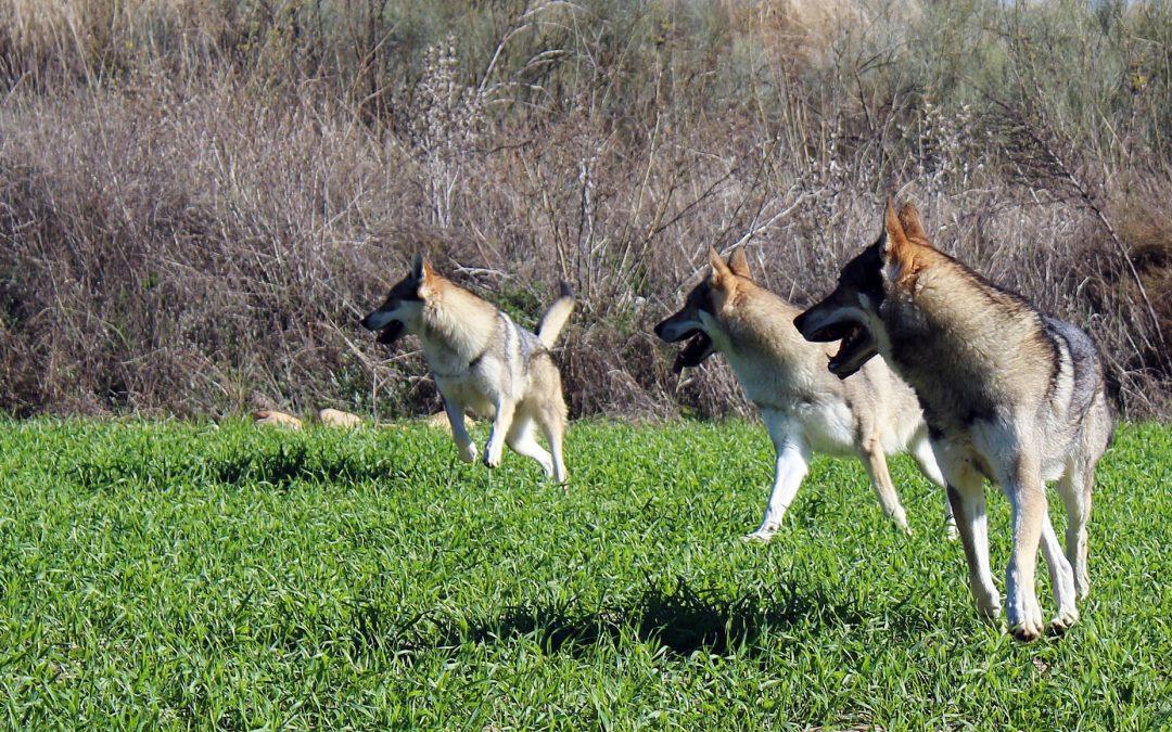 Las edades del perro lobo checoslovaco